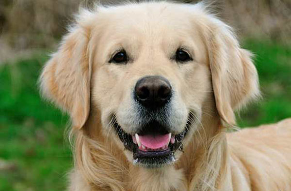 boyke-golden-retriever